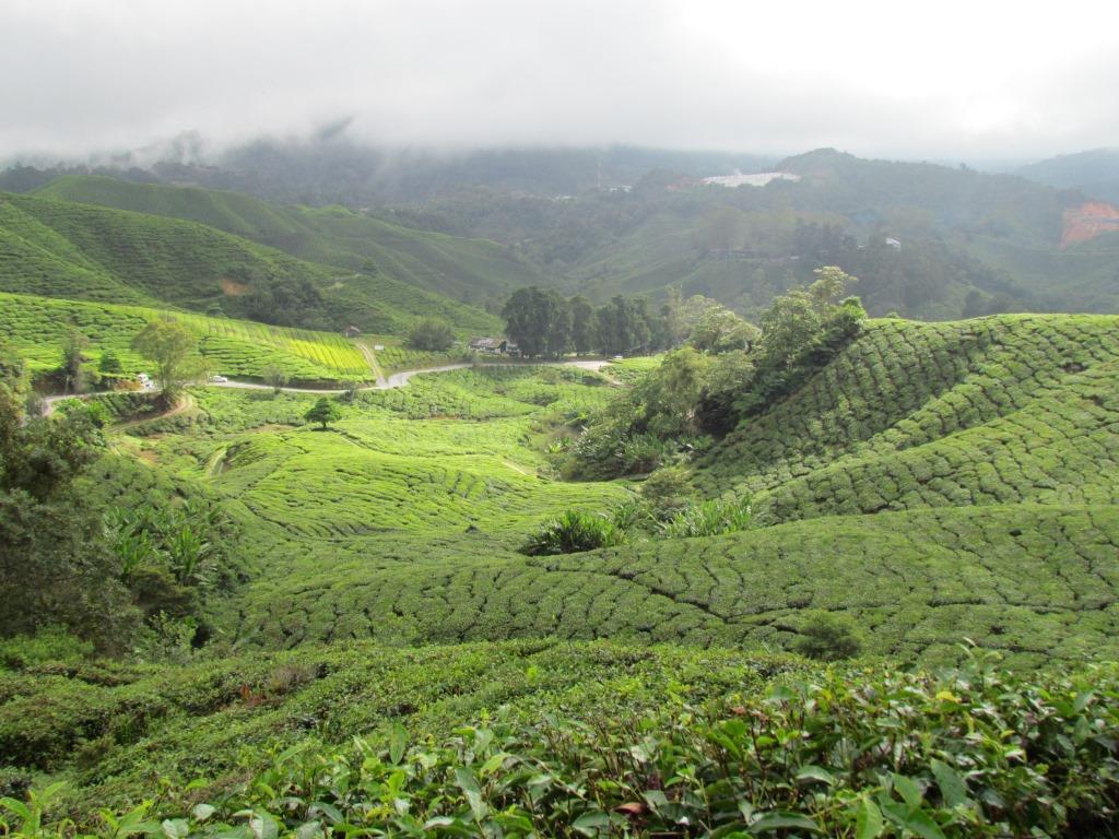 piantagioni di thè1