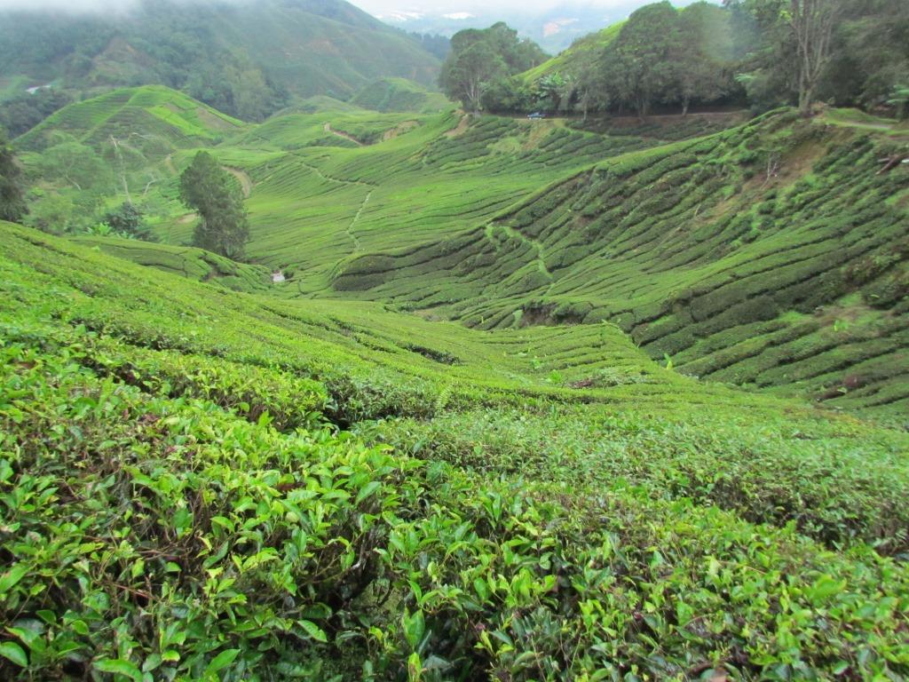 piantagioni di thè2