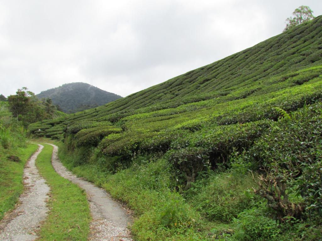 piantagioni di thè3