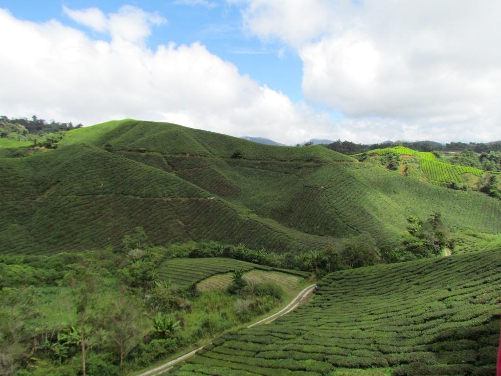piantagioni di thè4
